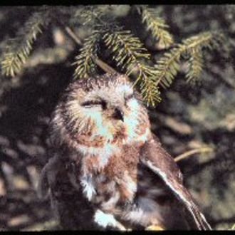 Northern Saw-whet Owl - Photo: Chris Powell