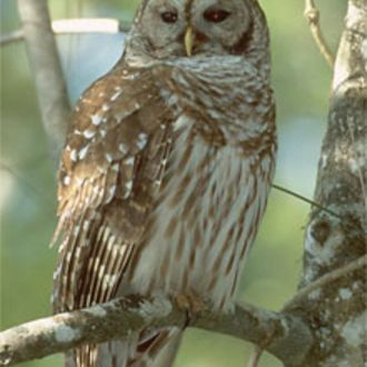 Barred Owl - Photo: Peter LaTourrette