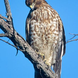 Red Shouldered Hawk - Photo: Peter LaTourrette