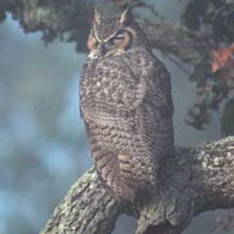 Great Horned Owl - Photo: Peter LaTourrette