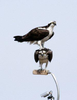 Marsh Creek Nesting Pair