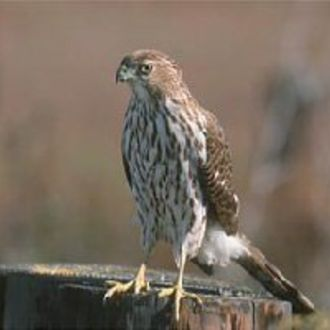 Coopers Hawk - Photo: Peter LaTourrette