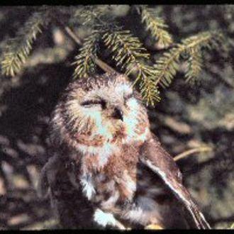 Northern Saw-whet Owl - Photo: Chris Powell