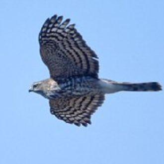 Sharp-shinned Hawk - Photo: Peter LaTourrette