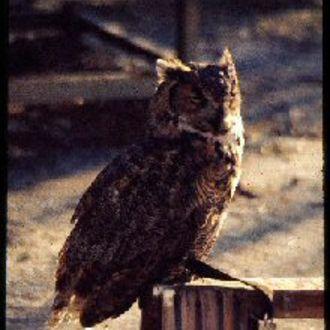 Great Horned Owl - Photo: Chris Powell