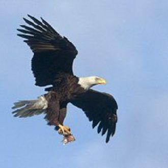 Bald Eagle - Photo: Peter LaTourrette