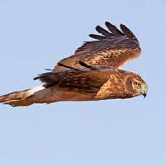 Northern Harrier - Photo: Peter LaTourrette