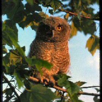 Eastern Screech Owl (Adult) - Photo: Peter LaTourrette
