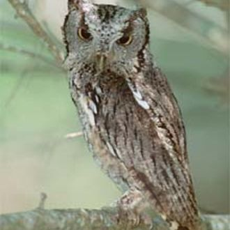 Eastern Screech Owl (Juvenile) - Photo: Chris Powell