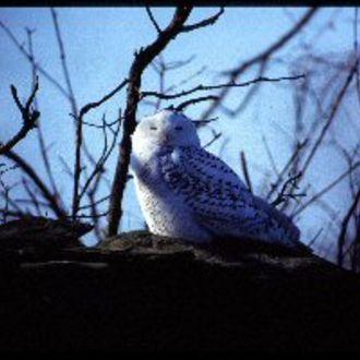 Snowy Owl - Photo: Chris Powell