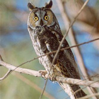 Long-eared Owl - Photo: Peter LaTourrette